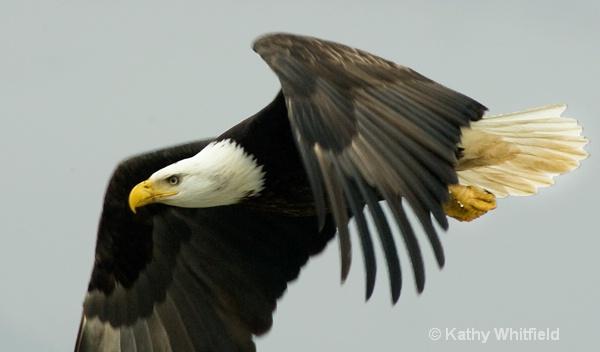 Eagle 103 - ID: 13354494 © Kathy K. Whitfield
