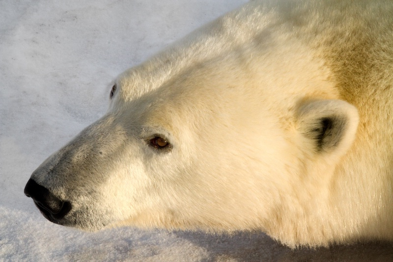 Polar Portrait - ID: 13357751 © Karen Celella