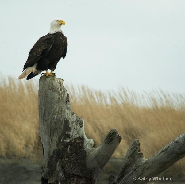 Eagle 101a - ID: 13362679 © Kathy K. Whitfield