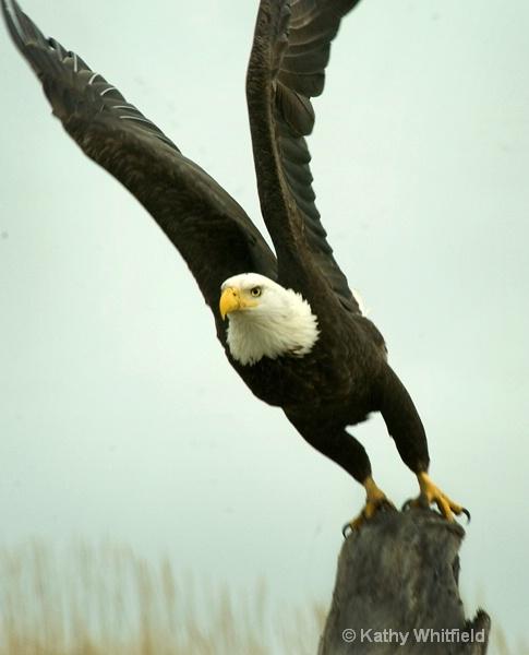 Eagle 104 - ID: 13362680 © Kathy K. Whitfield