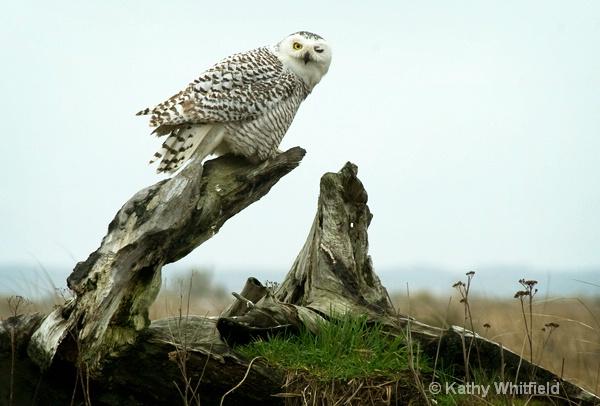 Snowy Owl 13b - ID: 13362689 © Kathy K. Whitfield