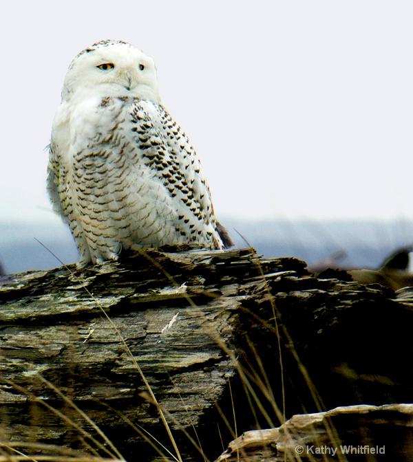 Snowy Owl 101 - ID: 13362690 © Kathy K. Whitfield