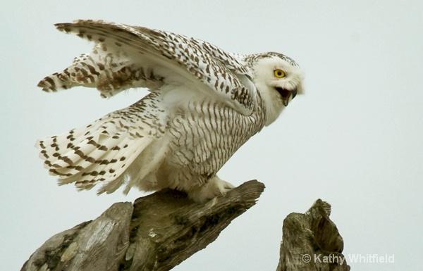 Snowy Owl 120 - ID: 13362691 © Kathy K. Whitfield