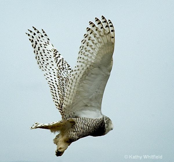 Snowy Owl 130 - ID: 13362692 © Kathy K. Whitfield