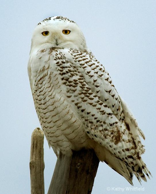 Snowy Owl 150 - ID: 13362693 © Kathy K. Whitfield