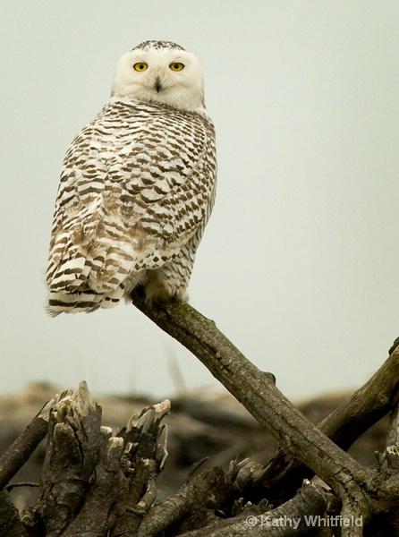 Snowy Owl 160 - ID: 13362695 © Kathy K. Whitfield