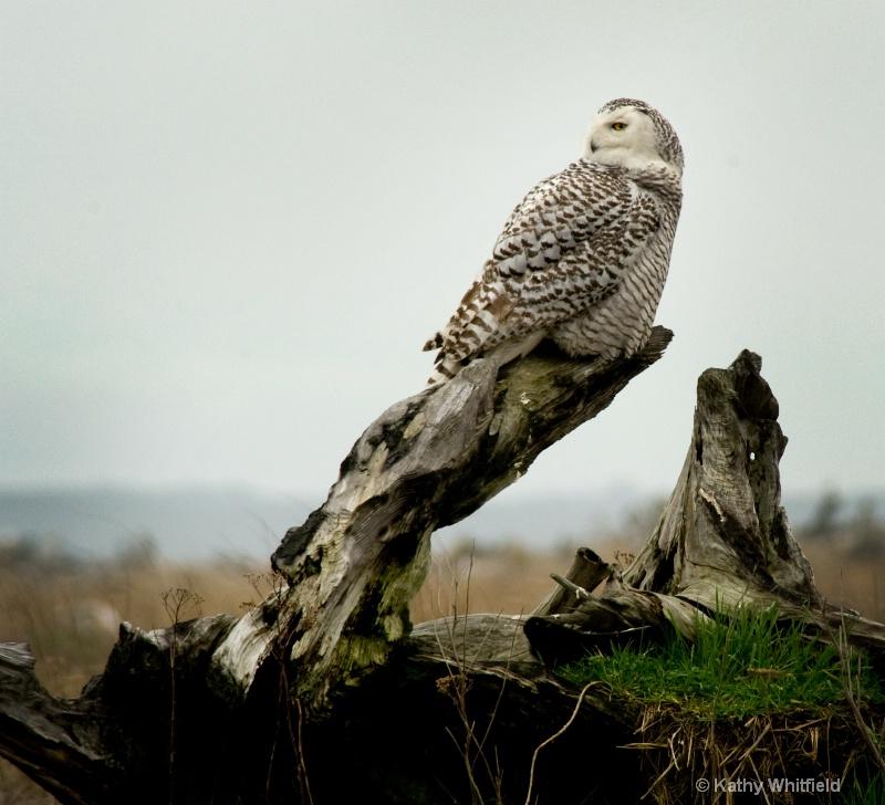 Snowy Owl 170 - ID: 13362696 © Kathy K. Whitfield