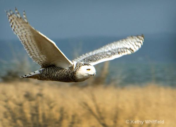 Snowy Owl 33 - ID: 13362697 © Kathy K. Whitfield