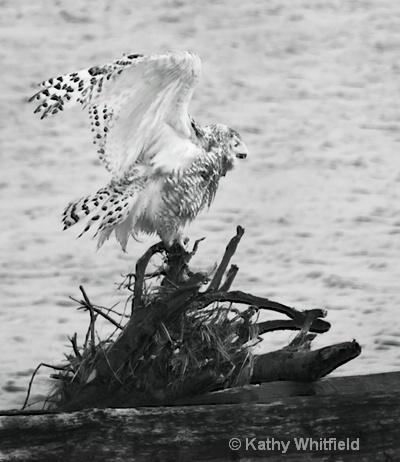 Snowy Owl 333 - ID: 13362698 © Kathy K. Whitfield