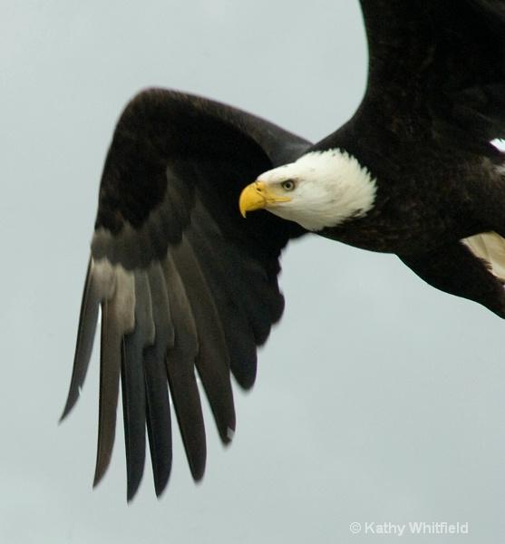 Eagle 102a - ID: 13362704 © Kathy K. Whitfield