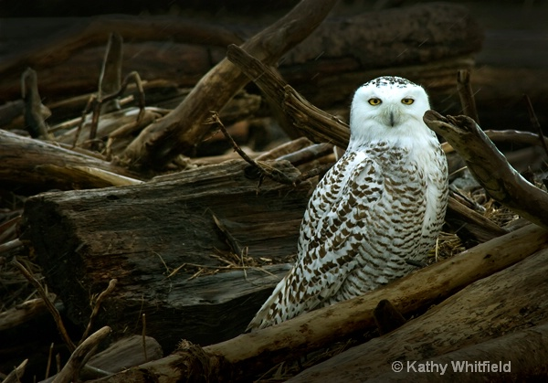 Snowy Owl In Driftwood - ID: 13362705 © Kathy K. Whitfield