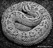 Snake Coiled Tigh...