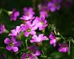 Shamrock Blooms