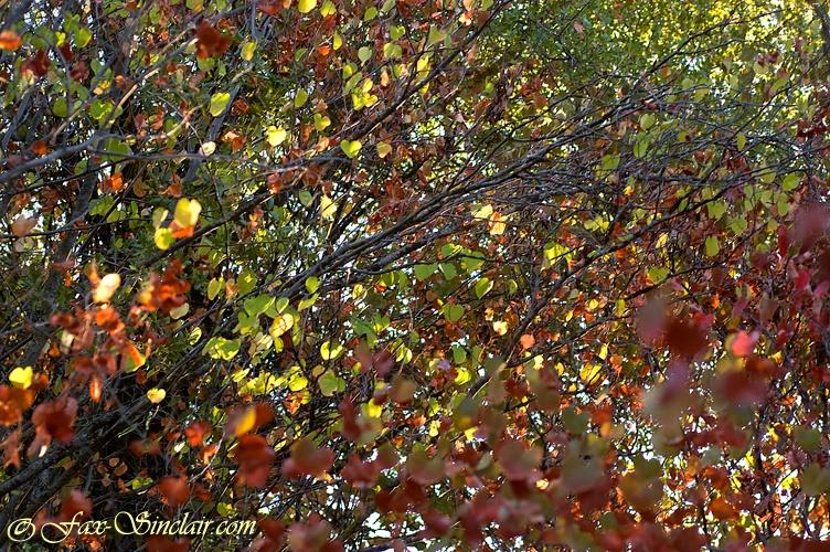 Red Leaf Morning - ID: 13389937 © Fax Sinclair