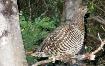 Spruce Grouse Hen