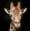 Reticulated Giraf...