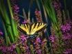 Swallowtail & Wil...