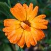 Orange Flip