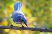 Blue Jay in Fall ...