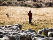 Shepherd guarding...