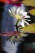 Waterlily Reflect...