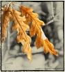 Golden Leaves of ...