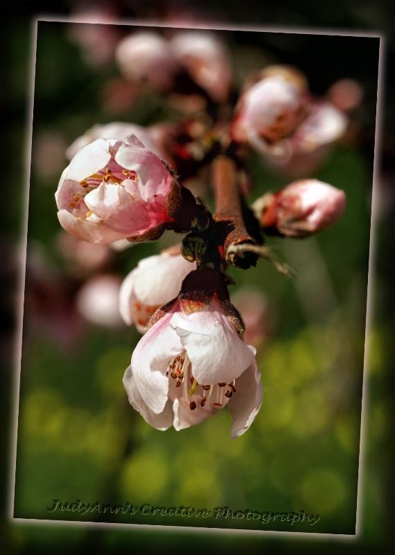 Spring Blooms - ID: 13468012 © JudyAnn Rector