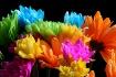 disarray daisies