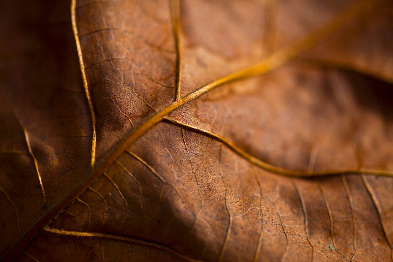Full Fall Leaf