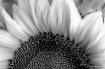 Sunflower in Blac...
