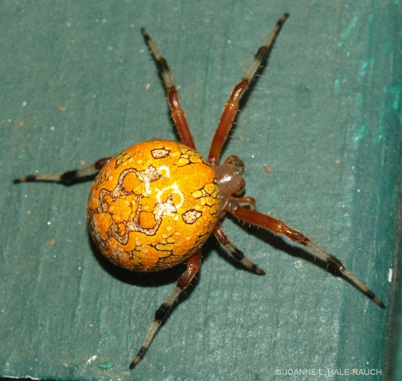 ANOTHER  VIEW OF PUMPKIN SPIDER??? - ID: 13518857 © JOANNE HALE-RAUCH