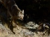 Cagey Coyote