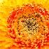 © Lesliediana Jones PhotoID # 13519735: Gerbera daisy