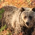 © Michael S. Couch PhotoID# 13520279: Grizzly Bear, Shoshone National Forest, 9.25.12