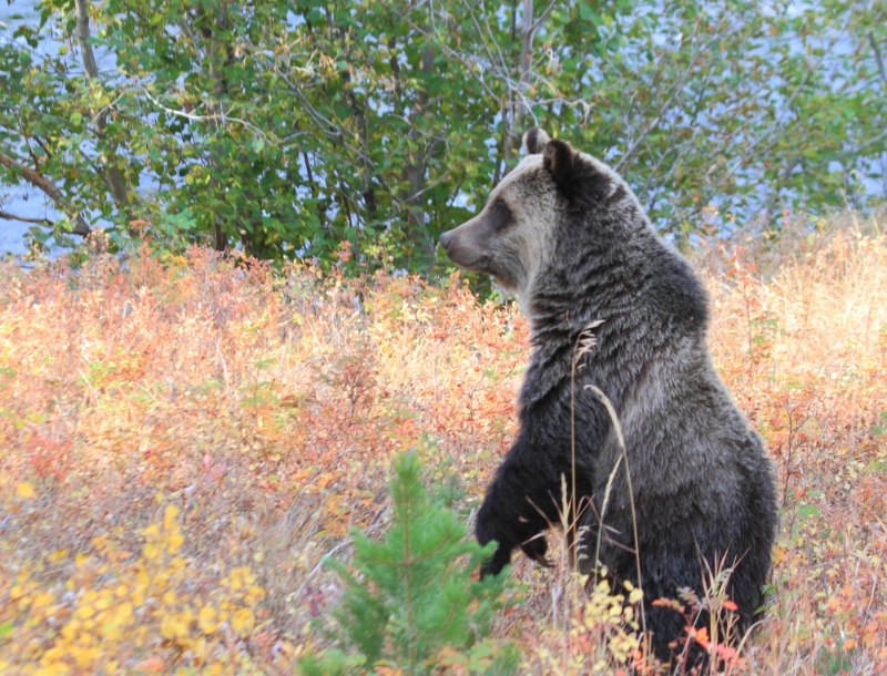 Grizzly Bear, Shoshone National Forest, 9.25.12 - ID: 13520291 © Michael S. Couch