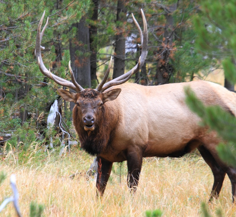 Bull Elk,  Yellowstone N.P., 9.25.12 - ID: 13520313 © Michael S. Couch
