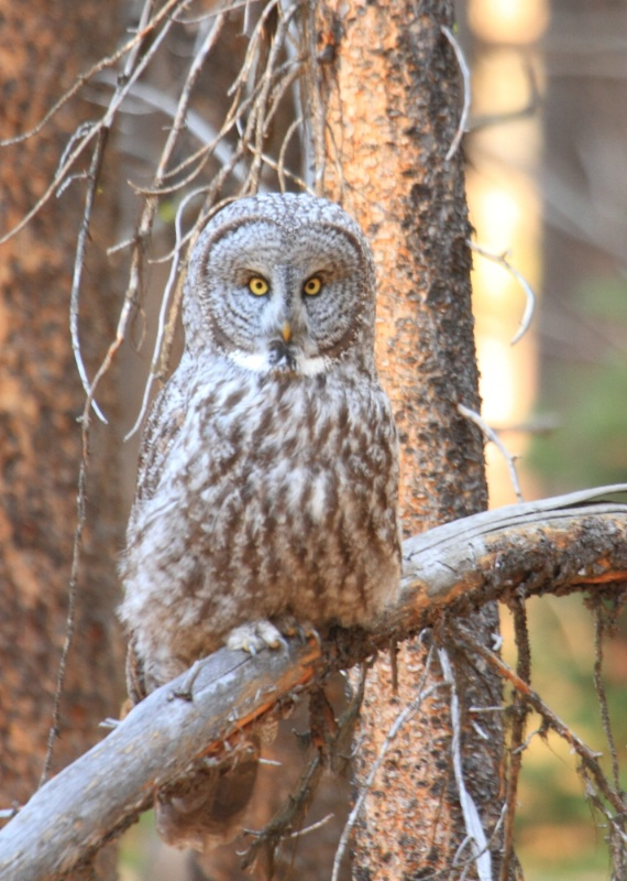 Great Grey Owl, Yellowstone N.P., 9.26.12 - ID: 13520329 © Michael S. Couch
