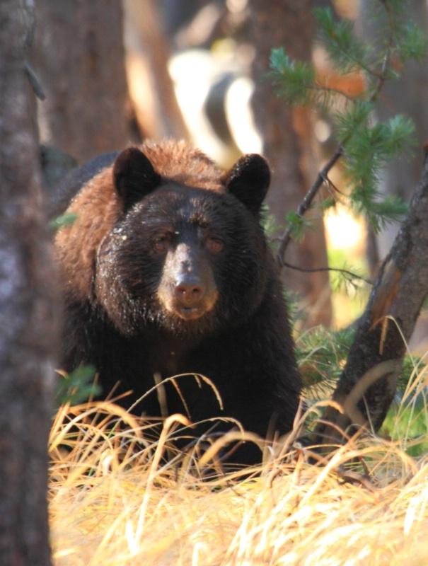 Black Bear, Grand Teton N.P., 9.27.12 - ID: 13520332 © Michael S. Couch