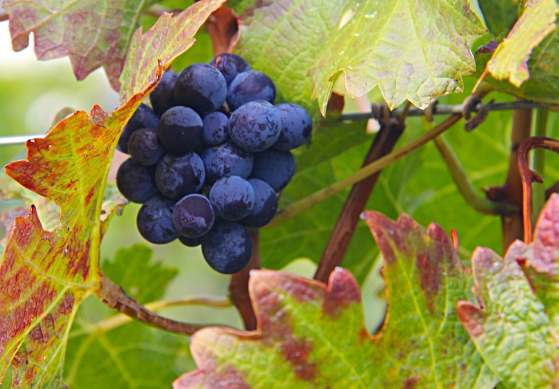 Left Behind Grapes in Fall - ID: 13521733 © Susan McNeill