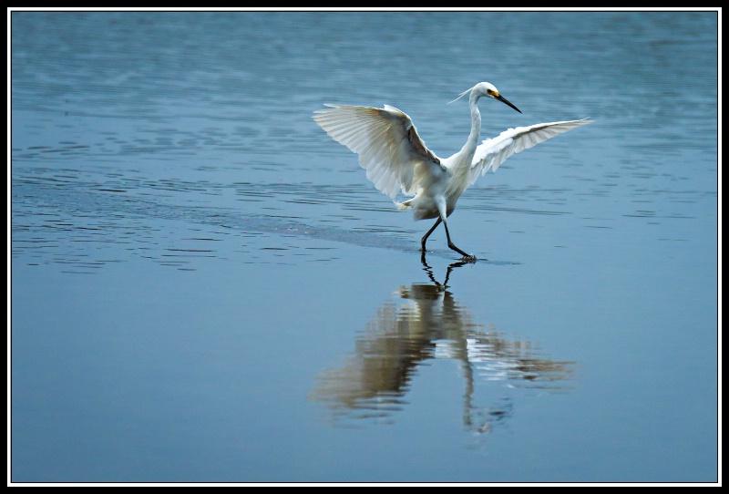 Egret Ballet #4