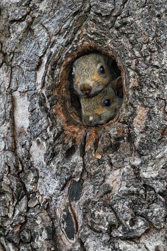 Curious baby squirrels - ID: 13527374 © Ravi S. Hirekatur