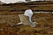 GREAT WHITE FLIGH...
