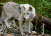 Watchful Tundra W...