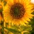 © Bonnie L. Smith PhotoID # 13578003: Sunflower