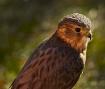 Little Sparrow Ha...