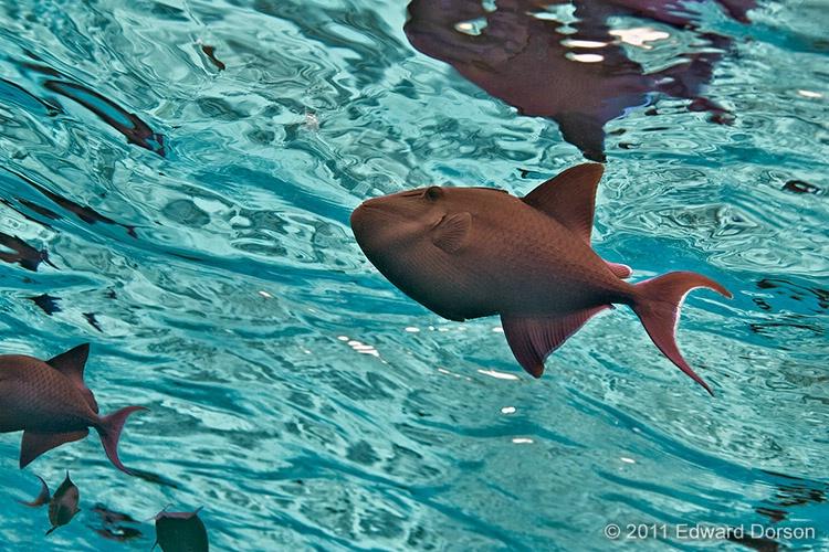Triggerfish near Surface - ID: 13587949 © Edward Dorson