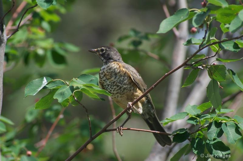 Robin (Juvenile) - ID: 13607536 © Jim Klages