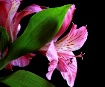 A Lilly for Allis...