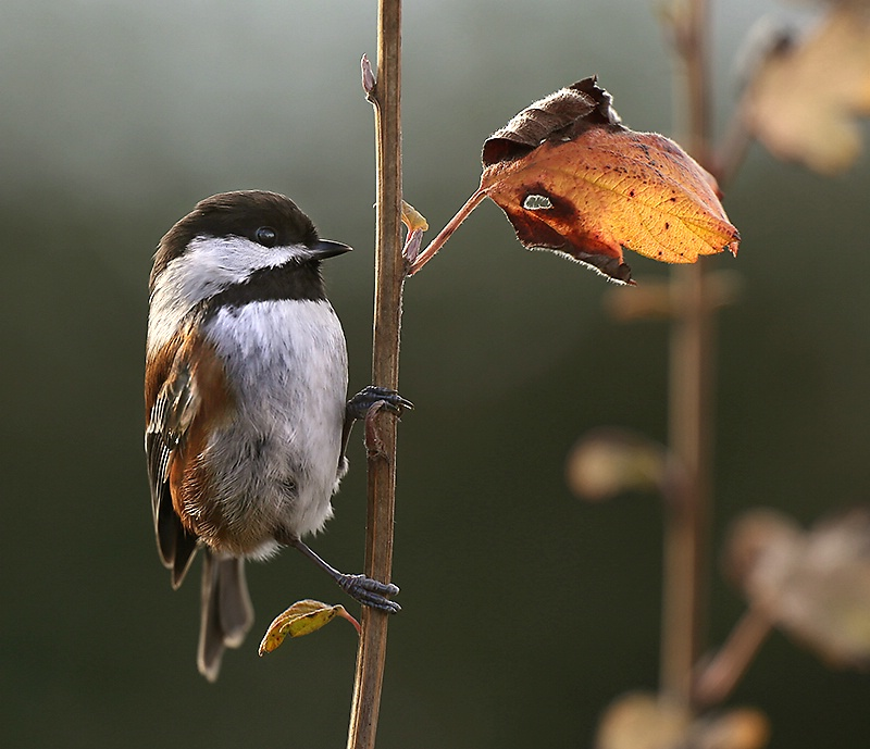 Another Chestnut-backed Chickadee