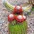 © Terry Korpela PhotoID# 13628402: Cactus Nevis Botanical Garden Caribbean